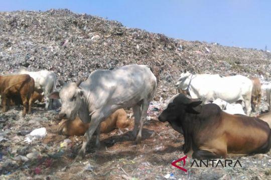 Mengandung logam berat, sapi asal TPA Cempa Solo harus dikarantina