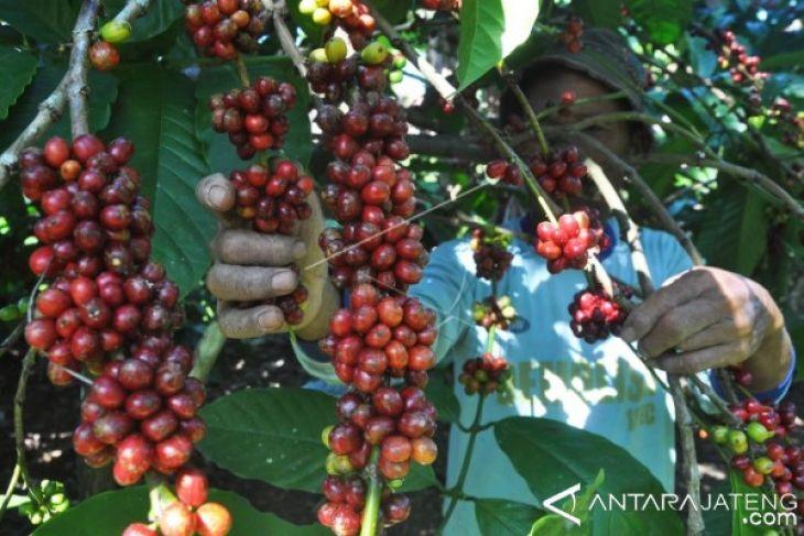 Perhutani dukung pengembangan kopi di kawasan hutan
