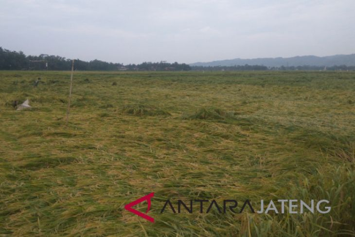 Puluhan hektare tanaman padi di Banyumas roboh
