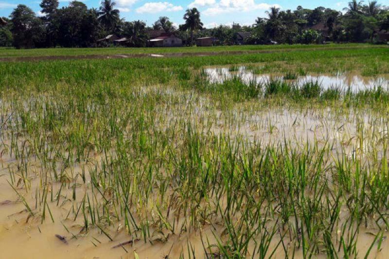Puluhan hektare padi di Cilacap terendam banjir