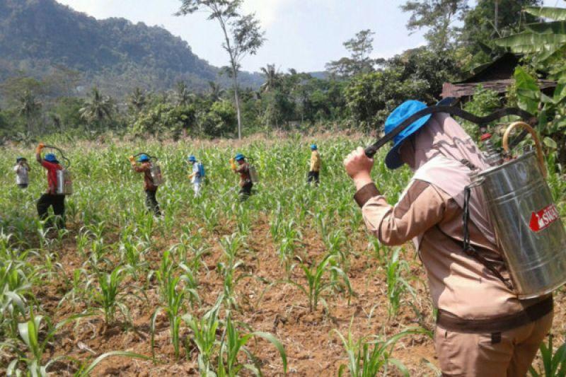 Gerakan Pengendalian OPT Jagung dilaksanakan di Desa Lambur