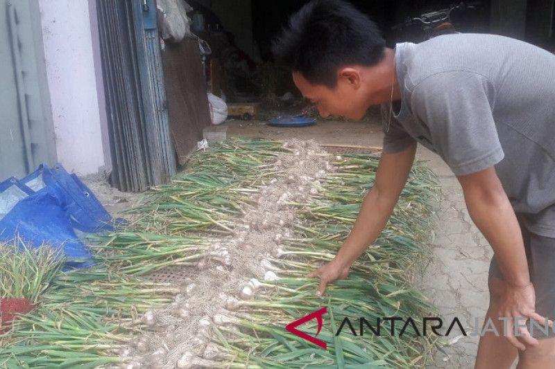 Temanggung targetkan tanam bawang putih1.930 hektare