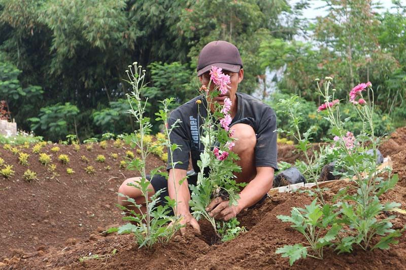 Petani stroberi Purbalingga beralih tanam bunga