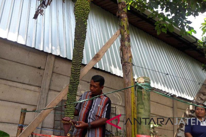 Pohon pisang langka ini punya tandan 2 meter lebih
