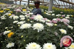 Masyarakat Kulon Progo kembangkan bunga krisan