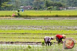 Mayoritas petani Bantul terapkan tanam jajar legowo