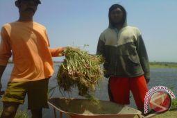 Luas lahan bawang merah Kulon Progo naik 20 hektare/tahun