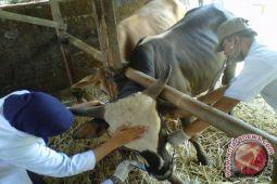 Stok hewan kurban di Bantul mencukupi