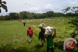 Petani Kulon Progo panen raya melon