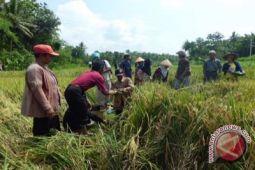 Bantul akan panen padi seluas 4.300 hektare