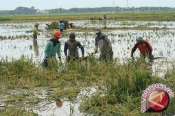 52 hektare lahan pertanian puso akibat banjir