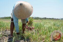 Tanaman bawang merah pesisir Bantul tidak dapat dipanen