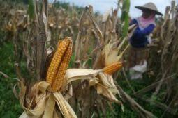 Bupati Bantul harapkan produksi jagung makin meningkat