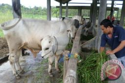 Pemkab menetapkan dua kecamatan pembibitan sapi PO