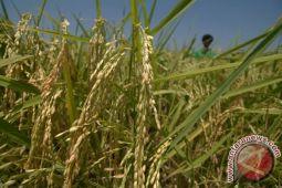 Memasuki musim hujan, petani Yogyakarta diharapkan tepat memilih benih padi