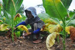 Petani tembakau Gunung Kidul agar meningkatkan kualitas