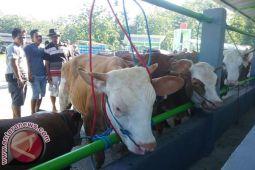 Populasi sapi perah di Kulon Progo turun
