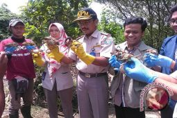 Karantina Yogyakarta lepasliarkan 118 kepiting