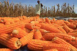 Pemerintah pastikan impor jagung untuk pakan ternak