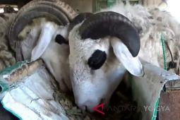 Rambut dan kulit ternyata dapat dilembapkan dengan bulu domba