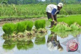 12.000 hektare sawah di Bantul siap tanam