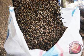 Masyarakat Kulon Progo kembangkan tanaman kopi