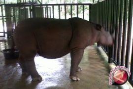 Lima organisasi konservasi internasional selamatkan badak Sumatera