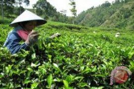 Pemkab bangun tempat istirahat Kebun Teh Nglinggo-Tritis