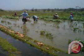 Tidak ada bantuan untuk lahan petani yang terendam