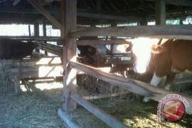 Peternak didorong mengikuti asuransi usaha ternak sapi