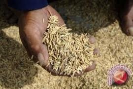 Bulog DIY masih menyerap gabah petani