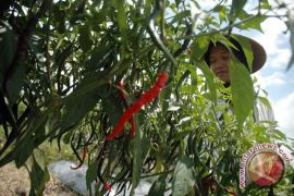 Produktivitas panen cabai petani Bantul menurun