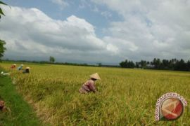 BPTP Yogyakarta berupaya kendalikan serangan wereng coklat