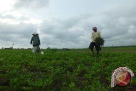 Pemkab diminta menjaga harga jual kacang tanah