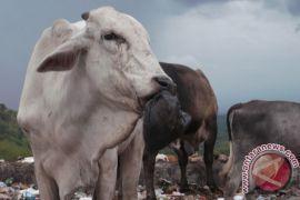 Daging  gelonggongan tidak ditemukan di Yogyakarta