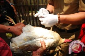 Peternak DIY diminta waspadai penyebaran flu burung