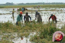 Delapan hektare sawah di Bantul terendam air