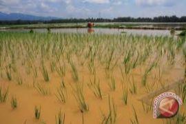 201 hektare sawah di Bantul terendam banjir
