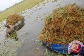 Kerugian padi akibat banjir diperkirakan Rp3,5 miliar