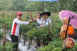 Petani Pesisir Kulon Progo panen cabai perdana