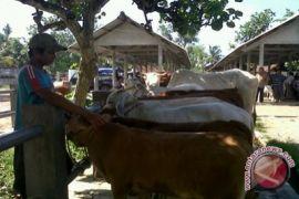 Populasi sapi di Kulon Progo diprediksi turun