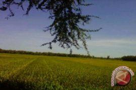 Ratusan kektare tanaman padi Kulon Progo puso