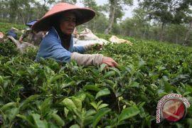 Matcha green tea bisa jadi obat kanker