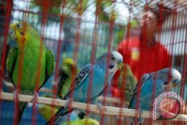 Burung di Australia diserang penyakit misterius