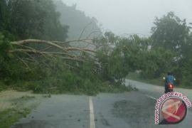 Pohon asem tumbang timpa pengendara sepeda motor