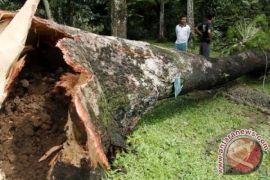 Hujan dan angin kencang menyebabkan pohon tumbang di Gunung Kidul