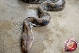 Ahli: penanganan gigitan ular belum berstandar WHO
