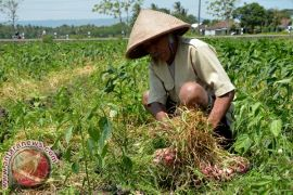 Petani bawang merah diminta tunda jual panen