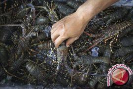 Nelayan Kulon Progo panen tangkapan lobster
