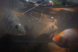 Ikan Nila di DIY negatif Virus Tilapia